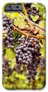 Red grapes in vineyard iPhone Case by Elena Elisseeva