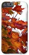 Sugar Maple Study iPhone Case by Pamela Patch