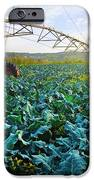 Cabbage Growth iPhone Case by Carlos Caetano