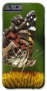 Echinacea butterfly meal iPhone Case by Darleen Stry
