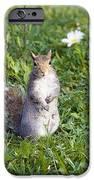 Grey Squirrel iPhone Case by Georgette Douwma