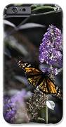 Monarch in Backlighting iPhone Case by Rob Travis