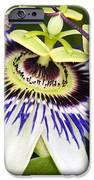 Passion Flower (passiflora Caerulea) iPhone Case by Adrian Bicker