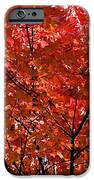Red Leaves Black Branches iPhone Case by Rich Franco