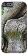 A Remarkable Tree - Duncan Western Red Cedar Olympic National Park WA iPhone Case by Christine Till