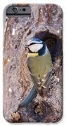 Blue Tit leaving nest iPhone Case by Cliff  Norton