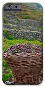 Grape harvest iPhone Case by Gaspar Avila