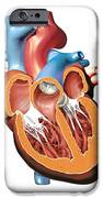 Human Heart Anatomy, Artwork iPhone Case by Jose Antonio PeÑas