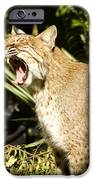 Adult Florida Bobcat IPhone Case by Anne Rodkin