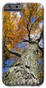 Big Orange Maple Tree IPhone Case by Christina Rollo