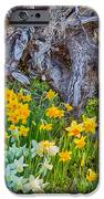 Daffodils And Sculpture IPhone Case by Omaste Witkowski