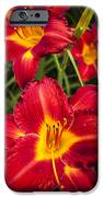 Day Lilies IPhone Case by Adam Romanowicz
