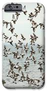 Flock Of Dunlin IPhone Case by Karol Livote