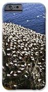 Gannets At Cape St. Mary's Ecological Bird Sanctuary IPhone Case by Elena Elisseeva