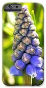 Grape Hyacinth Closeup IPhone Case by Jane Rix