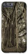 Old Banyan Tree IPhone Case by Adam Romanowicz