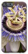 Passiflora Caerulea IPhone Case by Caitlyn  Grasso