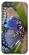 Red Spotted Purple Butterfly IPhone Case by Sandy Keeton