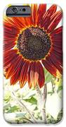Red Sunflower Glow IPhone Case by Kerri Mortenson
