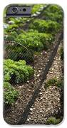 Rows Of Kale IPhone Case by Anne Gilbert