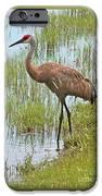 Sandhill In The Marsh IPhone Case by Carol Groenen