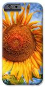 Sun Flower IPhone Case by Adrian Evans