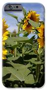 Sunflowers IPhone Case by Kerri Mortenson