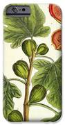 The Fig Tree IPhone Case by Elizabeth Blackwell
