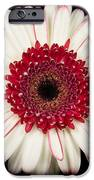 White And Red Gerbera Daisy IPhone Case by Adam Romanowicz