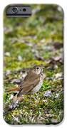 Wild Birds Hermit Thrush IPhone Case by Christina Rollo