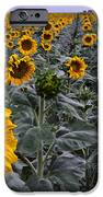 Yellow Sunflower Field IPhone Case by Dave Dilli