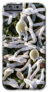 Cold-loving Extremophile Bacteria, Sem IPhone Case by Penn State University