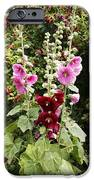 Hollyhock (alcea Rosea) IPhone Case by Dr Keith Wheeler