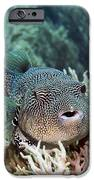 Map Pufferfish IPhone Case by Georgette Douwma