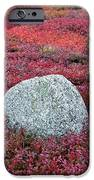 Autumn Blueberry Field IPhone Case by John Greim