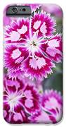 Dianthus Cranberry Ice Flowers IPhone Case by Jon Stokes