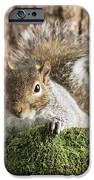 Grey Squirrel IPhone Case by David Aubrey