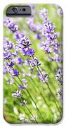 Lavender In Sunshine IPhone Case by Elena Elisseeva