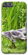 Mother Goose Leading Goslings IPhone Case by Simon Bratt Photography LRPS