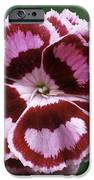 Pink (dianthus 'becky Robinson') IPhone Case by Archie Young