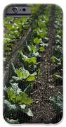 Rows Of Cabbage IPhone Case by Anne Gilbert