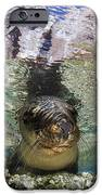 Sea Lion Portrait, Los Islotes, La Paz IPhone Case by Todd Winner