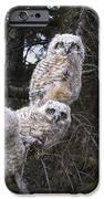 Three Great Horned Owl Bubo Virginianus IPhone Case by Richard Wear