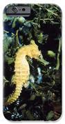 White's Sea Horse IPhone Case by Georgette Douwma