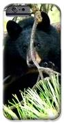 Young Black Bear IPhone Case by Will Borden