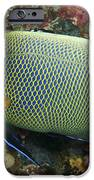 Blue Face Angelfish IPhone Case by Steve Rosenberg - Printscapes