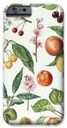 Cherries And Other Fruit-bearing Trees  IPhone Case by Elizabeth Rice