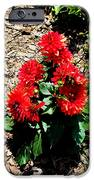 Dahlia Flowers IPhone Case by Corey Ford