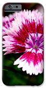 Dianthus IPhone Case by Rona Black