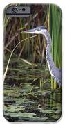 Great Blue Heron IPhone Case by Natural Selection David Spier